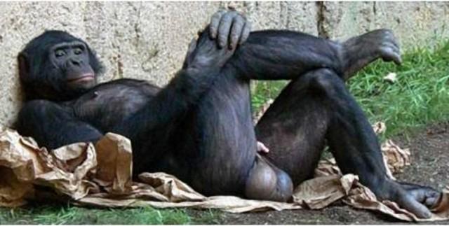 bonobo-testes